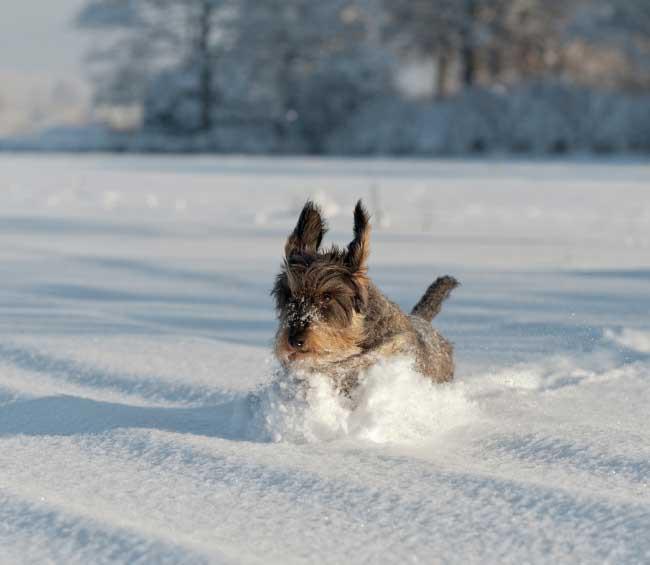 Forbered din hund til vinteren