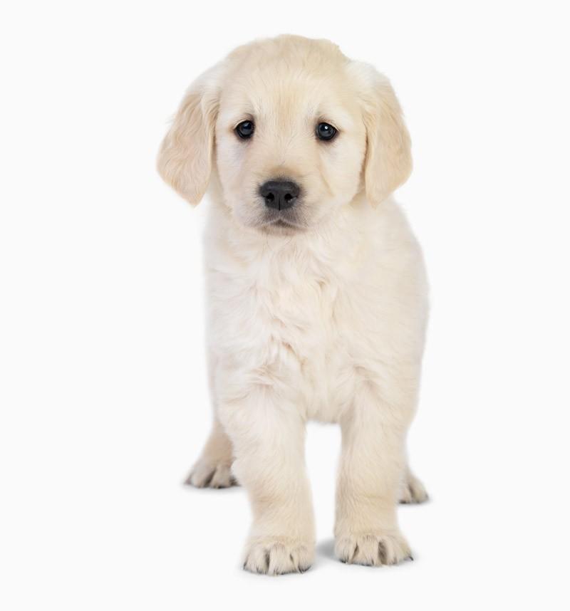 Hvalpefoder – En ordentlig start på et godt hundeliv