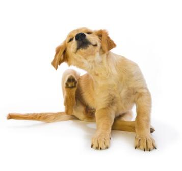 Allergi hos hunde – Når immunforsvaret overreagerer