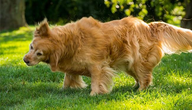 Hvad er den almindeligste parasit hos hunde og katte i Danmark?