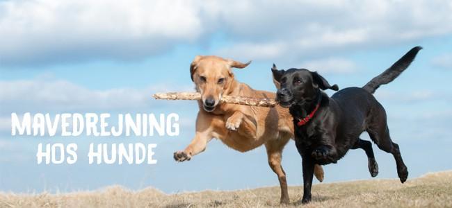 Mavedrejning hos hunde